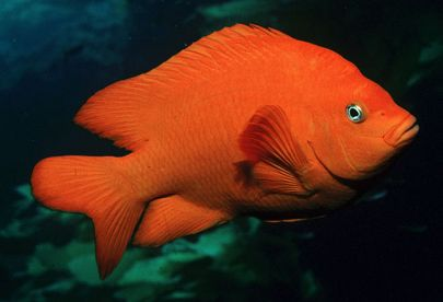 Adult Garibaldi fish