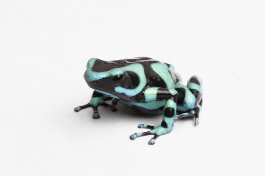 Green and Black poison dart frog - popup