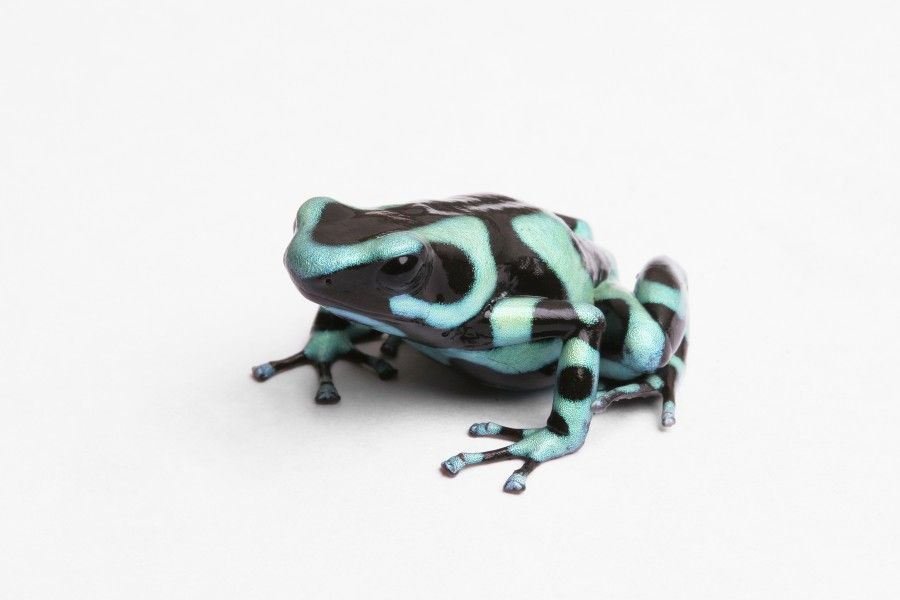 Green and Black poison dart frog - lightbox