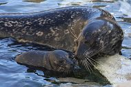 Harbor Seal Pup Born at the Aquarium