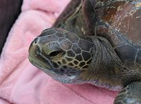 Green sea turtle released 9-1-16