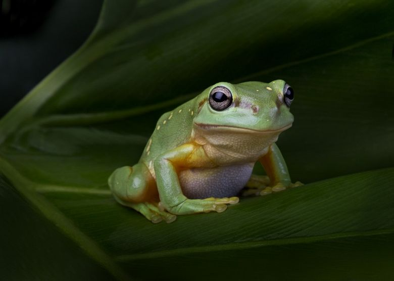 Magnificent Tree Frog - popup