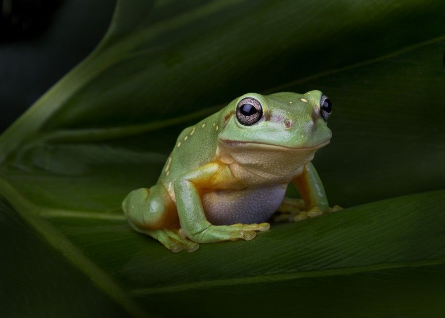 Magnificent Tree Frog - lightbox