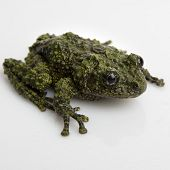Mossy Frog on White Background - thumbnail