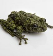http://www.aquariumofpacific.org/images/uploads/Mossy_frog_1.jpgMossy Frog{/mainimageOLC} links to Mossy Frog