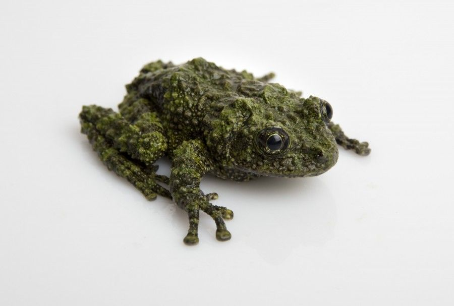 Mossy Frog on White Background - lightbox