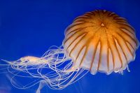 The Aquarium's Sea Jellies