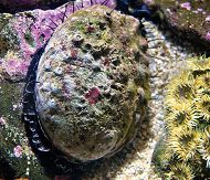 Abalone Program Aids in Conservation Efforts