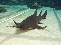 Last Chance to See the Largetooth Sawfish