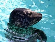 New Harbor Seal!