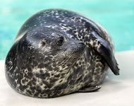 Harbor Seal Pup Makes Public Debut