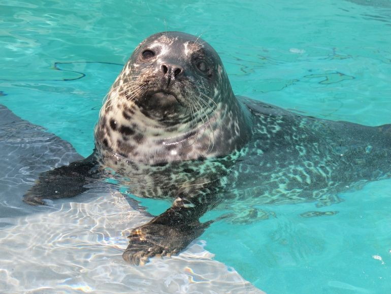 Harbor Seal Pup Growing at a Healthy Rate