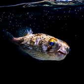balloonfish black background under water line - thumbnail