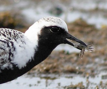 Black-bellied Plover - popup