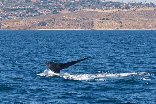Endangered Blue Whales Off of Long Beach