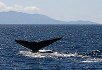 Blue Whale Fluke Horizontal links to Excursiones en Barco