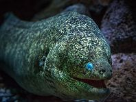 california moray eel - thumbnail