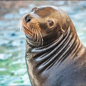 sea lion chase side profile - thumbnail