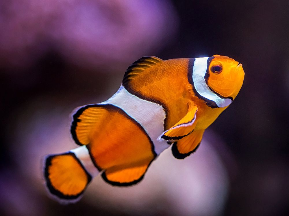 clownfish with purple background - lightbox
