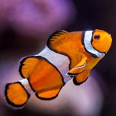 clownfish with purple background - thumbnail