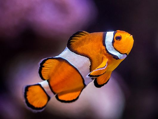 clownfish with purple background - popup