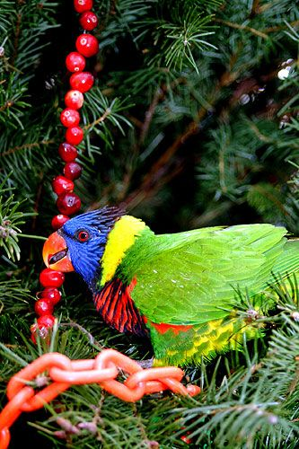 Lorikeet on a pine tree playing with cranberry garland