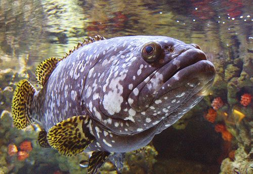 Grouper fish in Tropical exhibit - lightbox