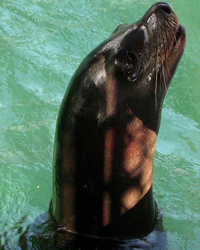 Aquarium of the Pacific Welcomes New Sea Lions Harpo & Milo to the Seal & Sea Lion Habitat
