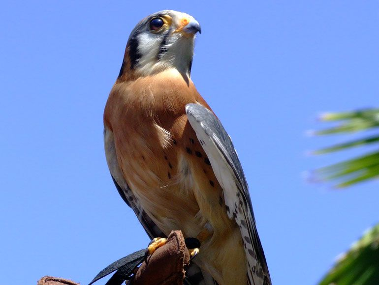 American Kestrel Part of Aquarium's Raptor Collection