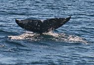 Witness Gray Whales Migrating Through Long Beach