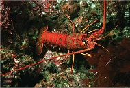 California Spiny Lobsters Finish Annual Molting