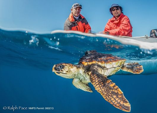 loggerhead turtle released by NOAA Fisheries - popup