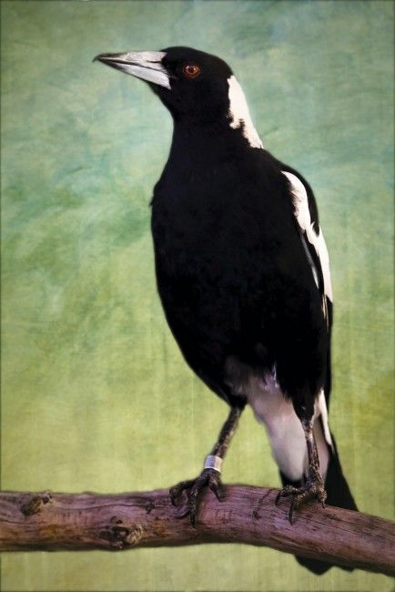Aquarium Adds Black-Backed Magpie to Bird Collection