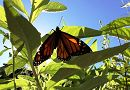 monarch butterfly links to Aquarium Garden Provides Monarch Butterfly Habitat