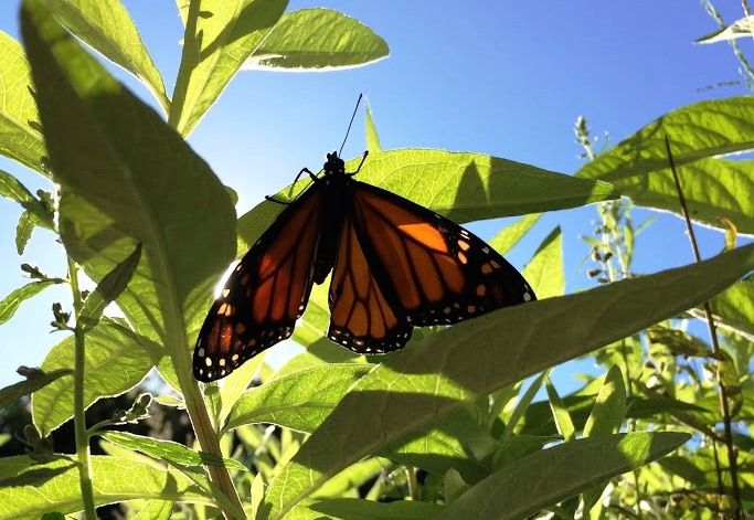 An Adult Monarch Butterfly Perches In The Aquariumu0027s Our Water Future Garden  Area. Photo By Cassandra Davis
