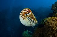 Chambered Nautiluses on Exhibit This Summer