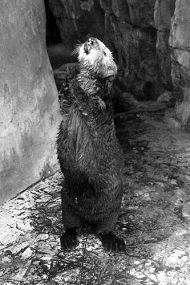 Aquarium of the Pacific Mourns the Loss of Summer the Otter