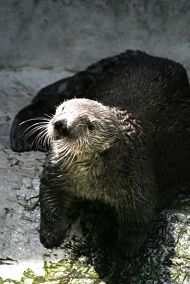 Charlie the Sea Otter Returns