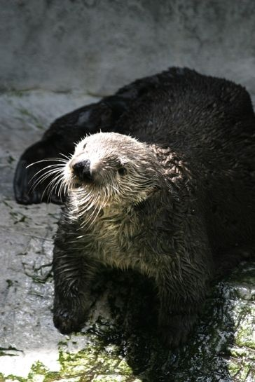 Aquarium's Sea Otter Charlie to Participate in Auditory Study