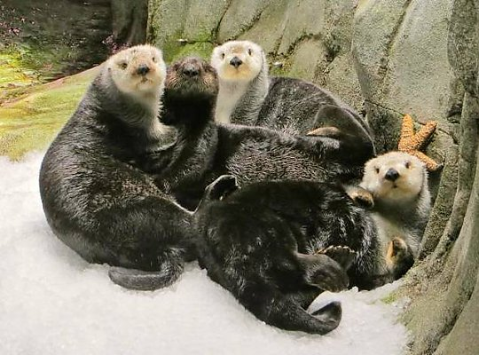 Group of sea otters - slideshow