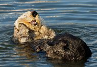 The Sea Otter Survival Story