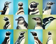 collage of penguins