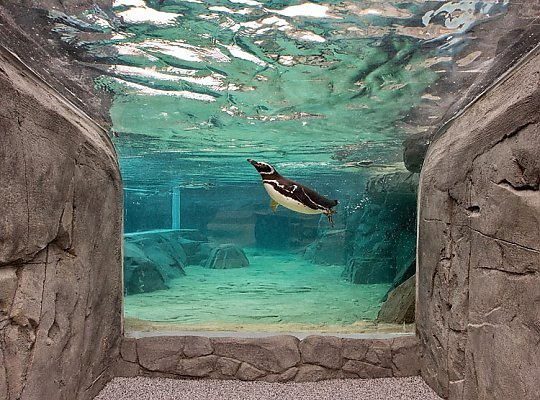 penguin diving - slideshow