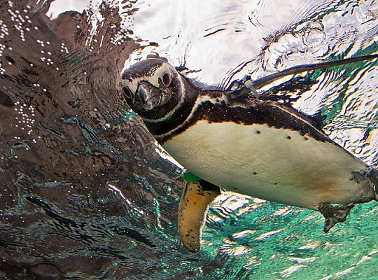 Penguin swimming on top of the water - slideshow