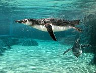 penguins underwater