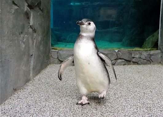 Penguins Born This Summer Make Their Public Debut