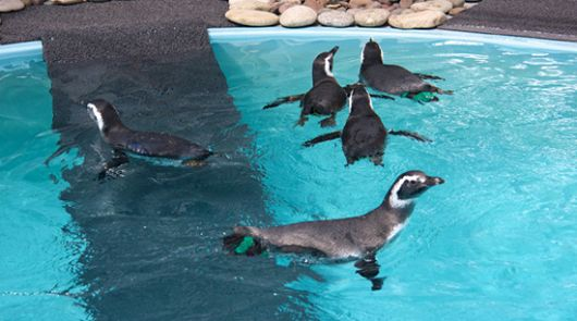 Penguins Stranded in Brazil Arrive at Aquarium of the Pacific