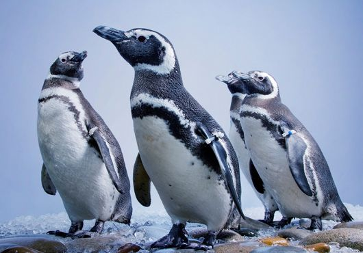 Aquarium Celebrates Penguins This Summer