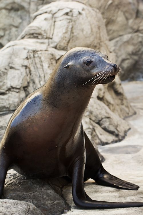 Aquarium of the Pacific Mourns the Loss of Odin the Sea Lion
