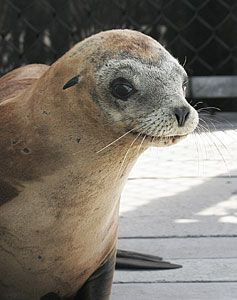 Aquarium of the Pacific Welcomes New Seal and Sea Lions